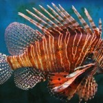 Red Lionfish Population Increasing In The Caribbean In Record Numbers