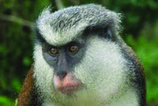 Grenada's Mona Monkey Population Under Threat