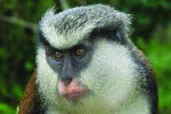 Grenada's Mona Monkey Population Under Threat