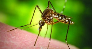 Jamaica Confirms First Case Of Chikungunya Virus
