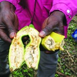 Africa Closer To A Cure For Banana Disease