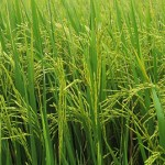 El Nino Affecting Rice Cultivation In Guyana