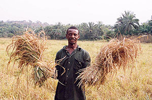 A farmer with his rice harvest in Sierra Leone. Photo by Laura Lartigue -- USAID, Public Domain, https://commons.wikimedia.org.
