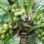 Concerns Voiced Over Future Of Coconut Industry In St. Vincent And The Grenadines