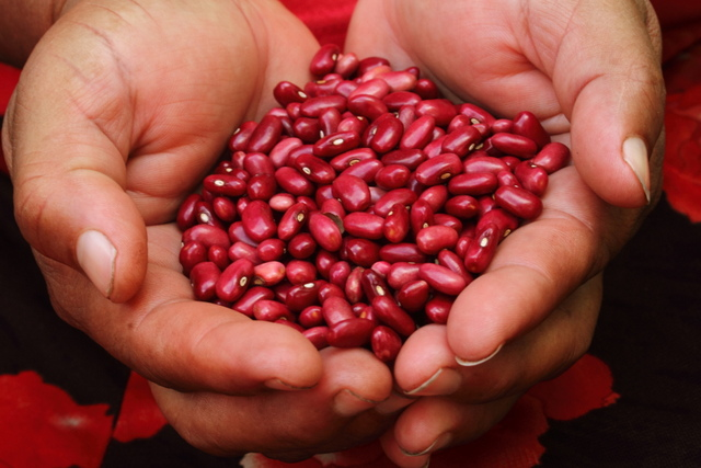 The hard-working hands of Ivania Siliézar pick improved beans grown on her three-hectare farm in the eastern Salvadoran department of San Miguel. Thanks to these native seeds, her output has doubled. Credit: Edgardo Ayala/IPS.