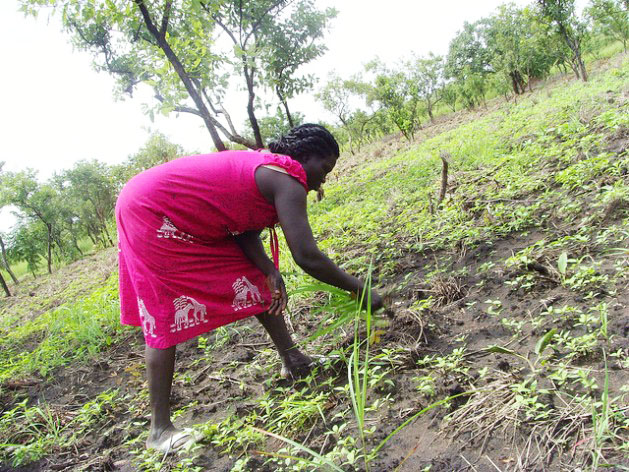 A woman weeds a sesame crop field in South Sudan's Eastern Equatoria state. Photo credit: Charlton Doki/IPS.