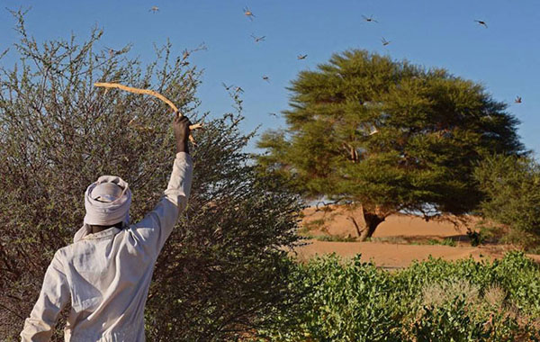 A man beating a bush with a stick to show desert locusts swarming near Fada, Chad. FAO toolbox shows how prevention, early warning and preparedness can help control desert locust and other trans-boundary threats. Photo credit: FAO.