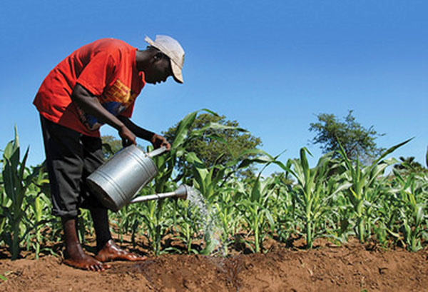 A farmer manually irrigates a cornfield in Barbados. Photo credit: Desmond Brown/IPS.