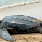 A leather-back turtle returning to the sea, after laying her eggs.