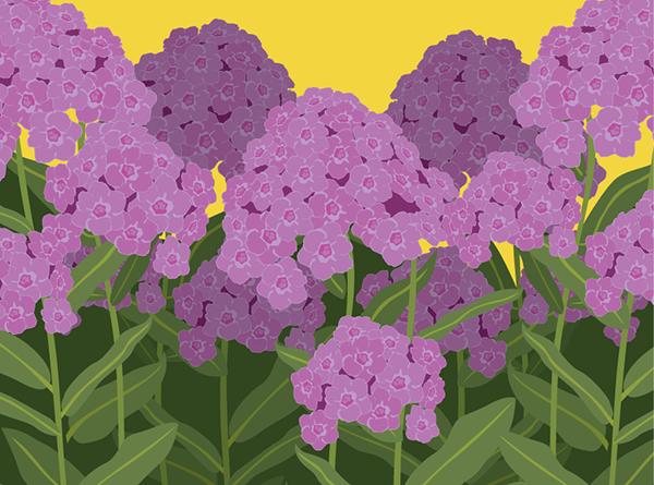 garden-phlox
