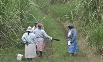 Barbados cane sugar workers. CMC file photo.