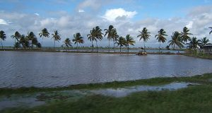 When Salt Water Intrusion Is Not Just A Threat, But A Reality For Guyanese Rice Farmers