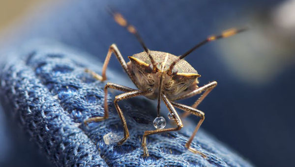 Why There May Be Thousands Of Stink Bugs Hiding Under Your Sofa