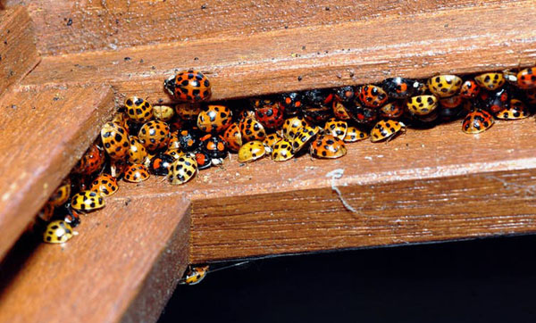 Ladybugs overwintering in a window frame. Photo credit: (Gilles San Martin/flickr), CC BY-SA.