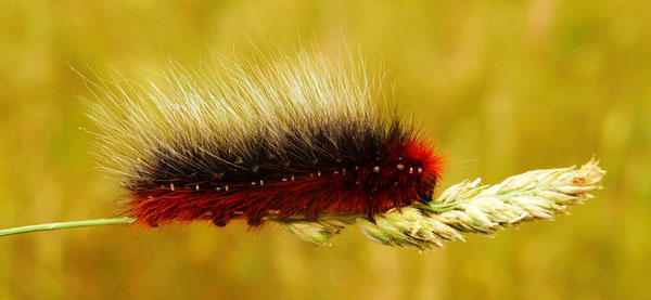 The banded woolly bear caterpillar produces an antifreeze that protects its organs and soft tissues in the winter. Photo credit: Krzysztof Niewolny/Unsplash.