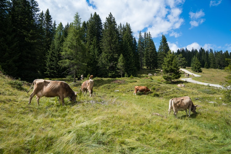 Dairy cows walk in a pasture. Photo credit: Mauro Tandoi/Unsplash.