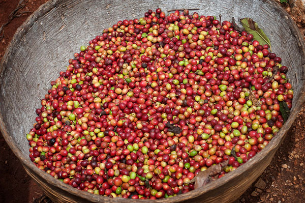 Freshly picked coffee beans. Photo credit: Will Boase/IPS.