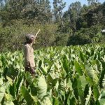 A farmer, in the Woliyta area of Ethiopia, experiences higher yields of taro, since adopting disease-resistant and drought-tolerant seed varieties. Photo credit: Ed McKenna/IPS.