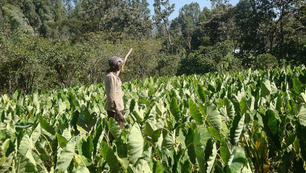 Becoming Drought Resilient: Why African Farmers Must Consider Drought-Tolerant Crops