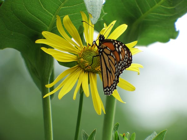 A monarch butterfly gathers nectar on a native daisy commonly called cup plant. Photo credit: Nina Zitani.