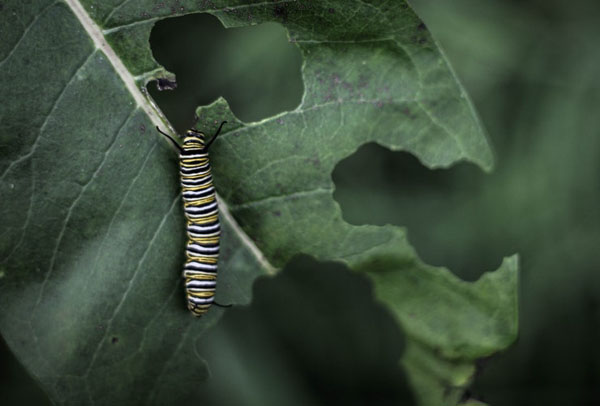 The caterpillar of a monarch butterfly on a milkweed plant. Photo credit: Luke Brugger/Unsplash.