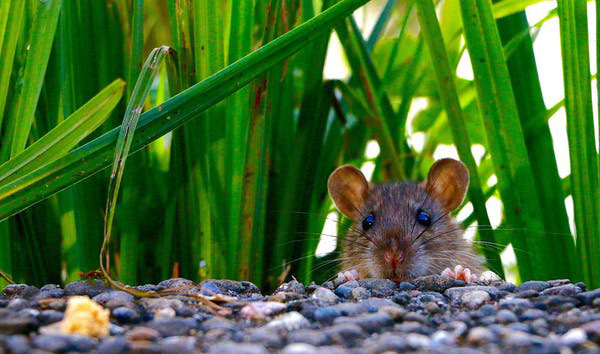Studies with rats have shown that other non-human animals also develop fetishes. Photo credit: Hebi B./Pixabay.