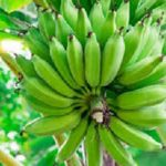 UN Launches New Efforts To Protect Bananas Under Disease Threat In The Caribbean And Latin America