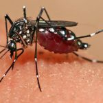 The Yellow Fever virus is transmitted to people, mainly through the bite of an infected mosquito of the Aedes or Haemagogus species.