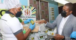 Jamaica Government Projects Mangoes To Boost  Export Market